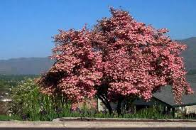 Image result for serviceberry tree