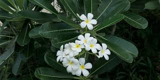 How To Grow And Care For <b>Frangipani</b> | Bunnings Warehouse