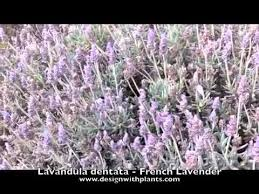 Lavandula dentata - French Lavender - YouTube