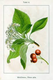 Sorbus aria - Wikipedia