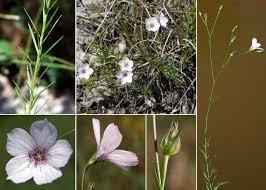 Linum tenuifolium L. - Portale sulla flora del Parco Naturale Dolomiti ...