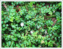 Images & Illustrations of creeping snowberry