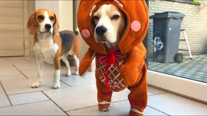 TOP 10 BEST CHRISTMAS <b>DOG</b> OUTFITS : <b>Funny</b> Beagles Louie ...