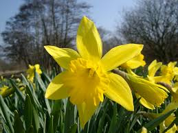 Image result for daffodil flowers