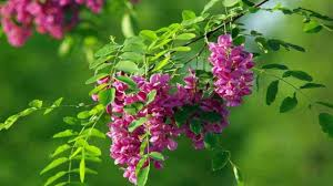 Sophora japonica flowers (HD1080p) - YouTube