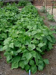 Image result for bean plant