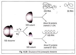essay on protein synthesis  biology structure of the prokaryotic ribosome