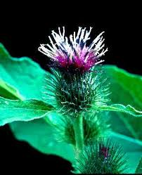 Arctium lappa - Online Virtual Flora of Wisconsin