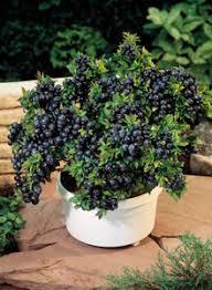 image dwarf patio fruit trees