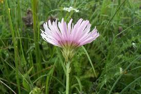 Crepis rubra L. * - Flora Mediterranea - Funghi in Italia - Fiori in Italia ...