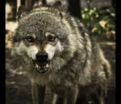 snarling wolf - Dogs & Animals Background Wallpapers on Desktop ... via Relatably.com