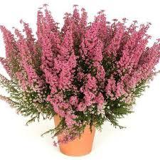 Эрика «<b>Winter</b> Flower Darleyensis» в Москве – купить по низкой ...