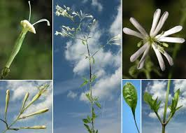 Silene italica (L.) Pers. subsp. italica - Sistema informativo sulla flora ...