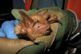 'Spectacular' <b>orange</b>-furred bat described from West <b>African</b> mountain