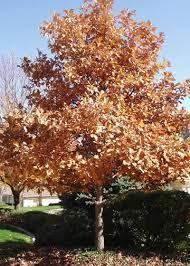 Image result for swamp white oak
