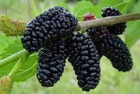 Imagini pentru dude fructe