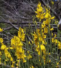 Spartium junceum Calflora