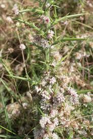 Cuscuta epithymum subsp. kotschyi (Des Moul.) Arcang.