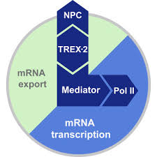 The Nuclear Pore-Associated <b>TREX-2</b> Complex Employs Mediator ...