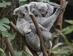koala bear essay koala essay biography bio koala essay koala essay