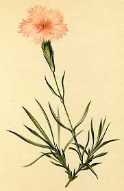 Dianthus furcatus - Wikidata