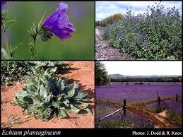 Echium plantagineum L.: FloraBase: Flora of Western Australia