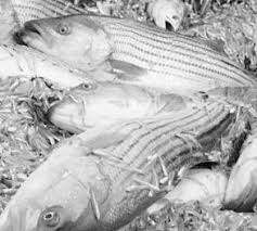 Striped Bass - URI <b>EDC</b>