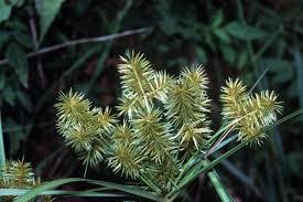Cyperus strigosus - Wikipedia