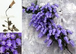 Campanula zoysii Wulfen - Portale sulla flora del Parco Naturale ...
