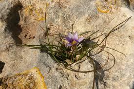 Romulea columnae – Wikipedia