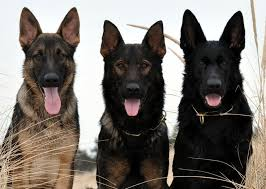 Image result for german shepherds