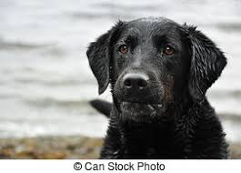 Image result for royalty-free images labrador