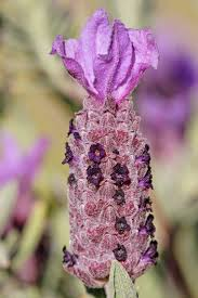 Lavandula stoechas - Wikipedia