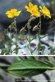flora.fl.prio_title