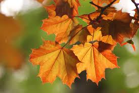 Картинки по запросу гілочка з кленового листя