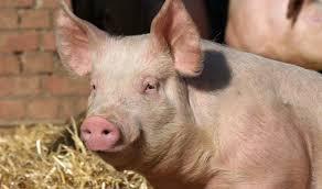 Обзор свиного рынка ЕС, май 2014  – отчет BPEX