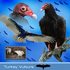 Turkey <b>Vulture</b> | Hawk Mountain Sanctuary: Learn Visit Join