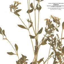 Silene pendula (nodding campion): Go Botany