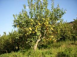 lemon tree x: growing lemon trees dscn growing lemon trees