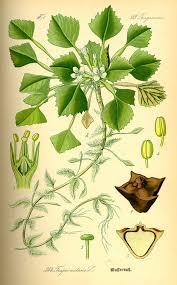 Trapaceae — Wikipédia