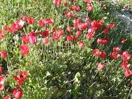 Anemone coronaria – Wikipédia, a enciclopédia livre