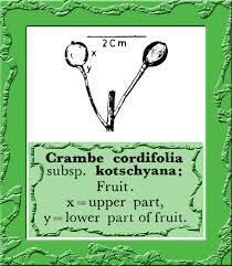 Crambe cordifolia in Flora of Pakistan @ efloras.org