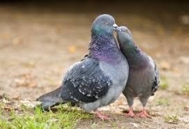 The <b>Pigeon Kiss</b> - deBugged