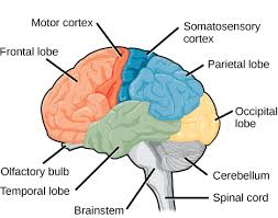 Image result for brain lobes