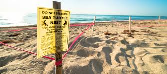 Sea Turtle Season Deerfield Beach South Florida Fort Lauderdale