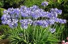 Images & Illustrations of agapanthus