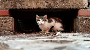 The First In The World <b>Stray Cats</b> Survey - Done | Animal-ID.net