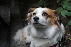 <b>Трусы</b> для <b>собак</b> во время течки: виды и особенности | НПК ...