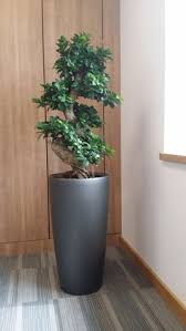 this displays was located in the corner of a directors office ficus plants like to bonsai tree office window