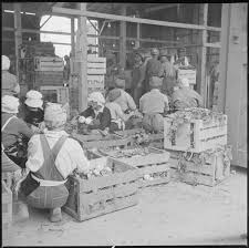 fall harvest in ese american concentration camps densho original wra caption tule lake relocation center newell california evacuee workers in